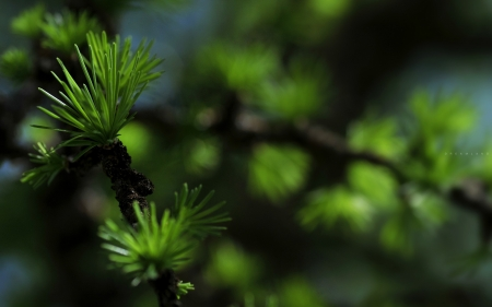 larch tree branch - green, forest, larch branch, larch