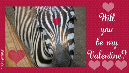 Valentine Zebra - va1entine, February 14, Happy Valentines Day, Holiday, Pennsylvania, hearts, heart, zebras, anima1, zebra, valentines, love