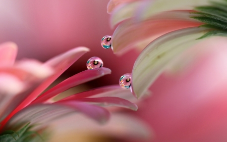 Water drops - petal, water drop, flower, pink