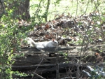 Bianca the White Squirrel Sunning