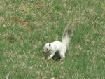 Bianca the White Squirrel burying a nut