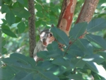 Bianca the White Squirrel in Crepe Myrtle