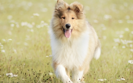 Lassie come home - field, animals, stamina, collies, love, sagacity, dogs, beautiful, special
