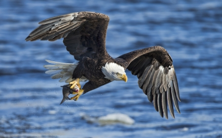 Bald Eagle - water, wings, bird, blue, bald eagle, flying, pasare