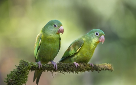 Parrots - bird, parrot, couple, green, bokeh, pasare