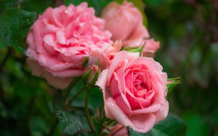 Pink roses - summer, trandafir, rose, green, flower, pink