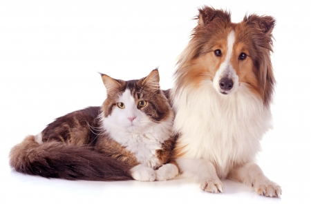 Friends - friend, cat, pisica, caine, animal, collie, couple, brown, dog, white