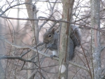 Gray Squirrel Eating Nut in Tree