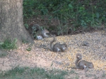 Three Gray Squirrels in a Row