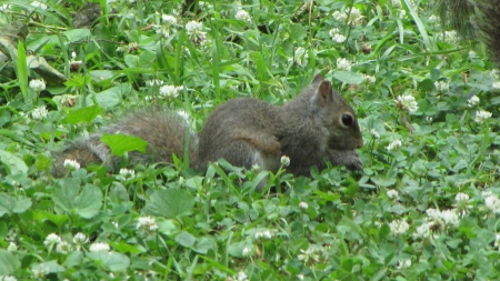 Baby Gray Squirrel - green grass, eating, gray squirrel, baby