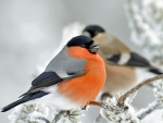 Bull Finch in Winter