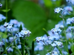 Garden Of Forget Me Nots