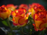 Yellow-Red Roses