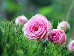 Pink Roses on a Green Grass