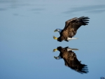 Flying Bald Eagle over Water