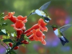 Hummingbirds & Trumpet Flowers