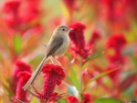 The Gray bird in Red Flowers