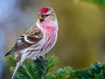 Common Redpoll on a Branch