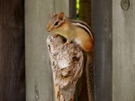 Chipmunk's Look-out