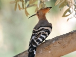 Hoopoe on the Branch