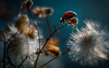 Ladybug - seeds, insect, raindrops, flowers