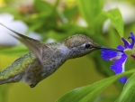 Hummingbirds And Blue Flower