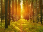 Sunny Path in Pine Tree Forest