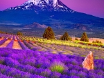 Lavender Field in the Foot of the Mountain