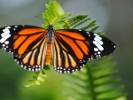 Striped Tiger (danaus Genutia)