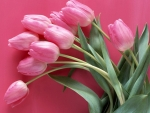 Pink Tulips With Pink Background