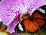 Orange Butterfly on Orchid Flower