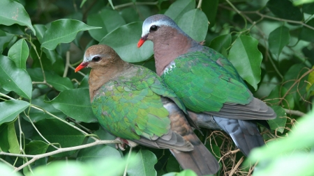 A Pair Of Dove - love, pair, animal, birds, dove