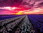 Amazing sunset over flowers field
