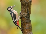 northeastern Woodpecker