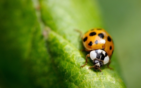 Ladybugs - insect, ladybugs, beetle, nature