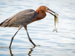 Reddish Egret with Take Out Dinner