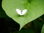 Leaf For A Cabbage White