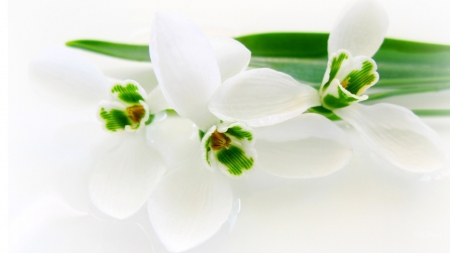 Snowdrops so White - Firefox Persona theme, floral, flowers, green, blossoms, snowdrops, spring, white