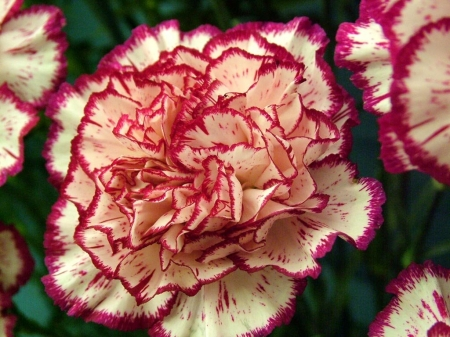 CARNATIONS - LEAVES, NATURE, PETALS, COLORS