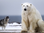 White Polar Bear And Canadian Eskimo Dog