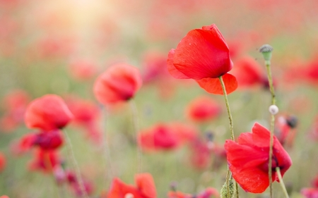 Poppies - poppies, meadow, nature, flowers