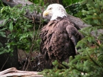 Bald Eagle in Tree F