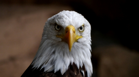 Bald Eagle Frontal View F - photography, beautiful, bird, wildlife, avian, photo, raptor, animal, wide screen, Bald Eagle