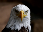 Bald Eagle Frontal View F