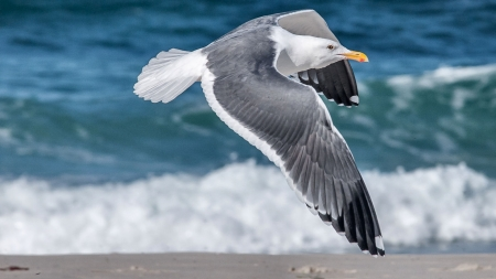 Seagull in Flight F - seagull, beautiful, bird, wildlife, avian, photo, animal, wide screen, waves, photography, ocean