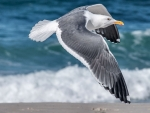 Seagull in Flight F