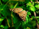 Brown-patterned Butterfly F