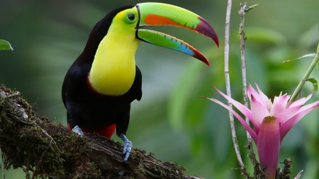 Toucan Bird - cute, bird, animal, toucan