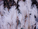 The Beauty Of White Grass