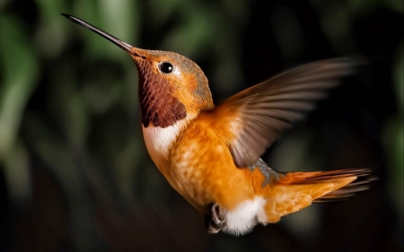 cute humming bird - wings, brown, humming, flight